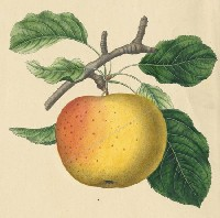 Joseph Prestele's Lithograph of the Belmont Apple (courtesy of the University of Rochester)