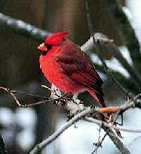Cardinal, Courtesy of Ohio History Central